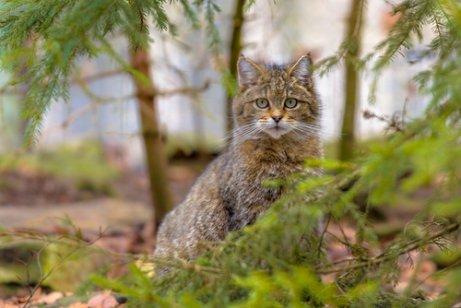 Gato montés: hábitat y alimentación