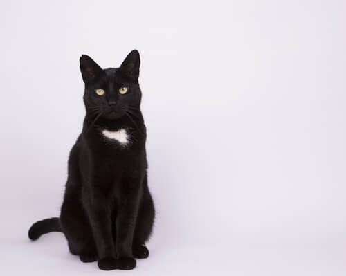 Gatos mestizos: características