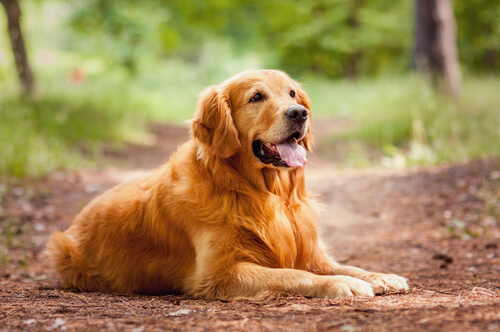 Golden retriever: aprendizaje