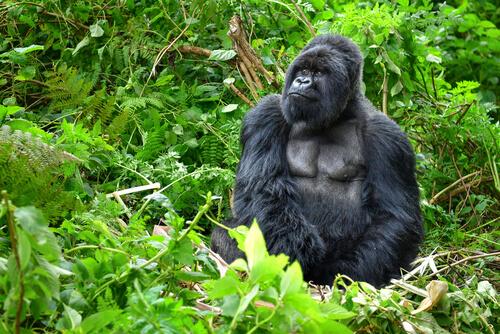 Gorila de montaña: características
