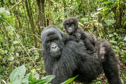 Gorila de montaña: hábitat