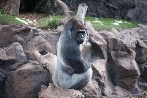 Gorila occidental: hábitat
