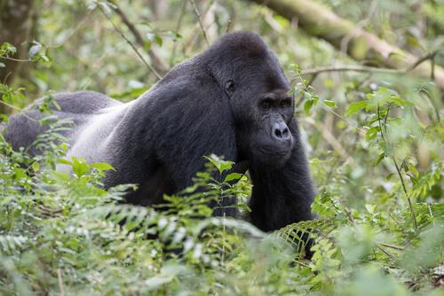 Gorila oriental: características