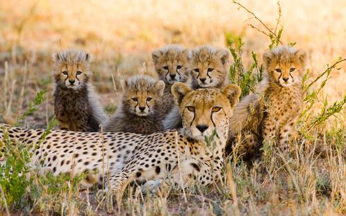 Guepardo y sus crías