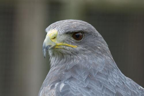 Halcón gris: características