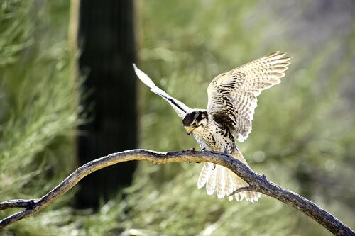 Halcón mexicano: hábitat