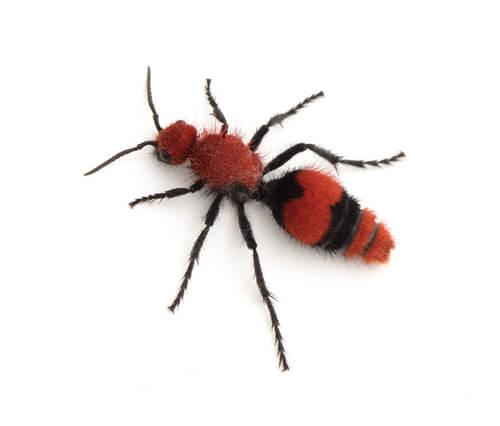 Hormiga aterciopelada: picadura