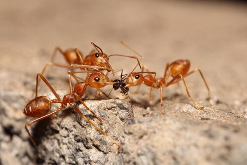 Hormiga roja de fuego: picadura