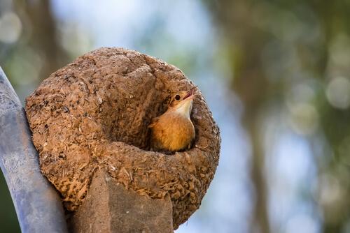 Hornero en su nido