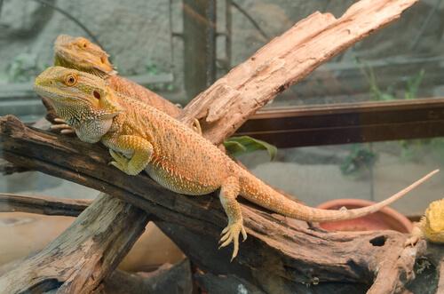 Iguana: iluminación