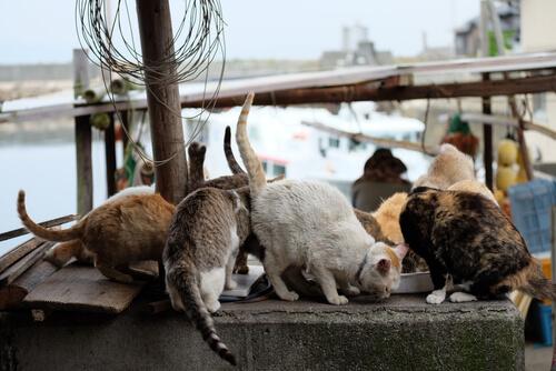 Isla Aogashima de Japón: gatos