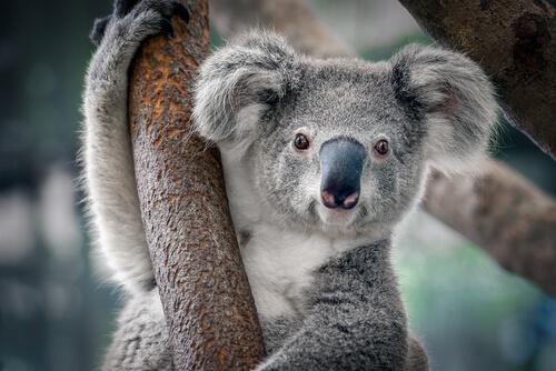Koala: características