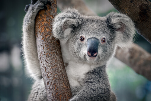 ¿Cómo es el koala?