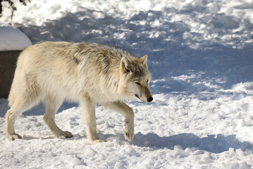 Lobo de Mackenzie