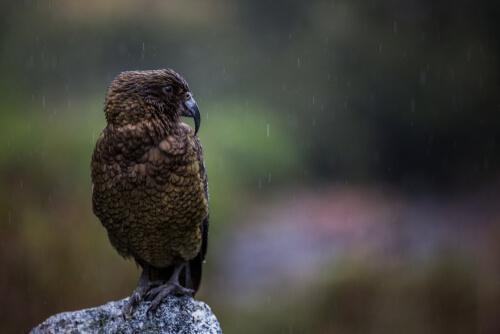 Loro kea de Nueva Zelanda