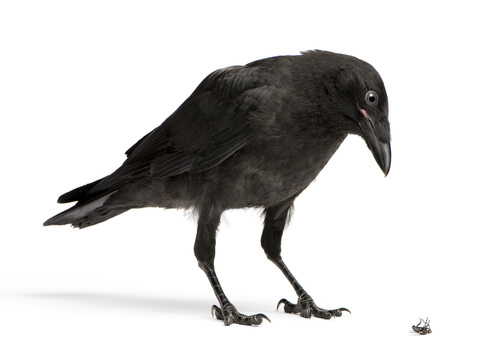 Los cuervos roban