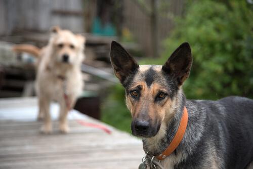 ¿Los perros mestizos son más sanos que los perros de raza?