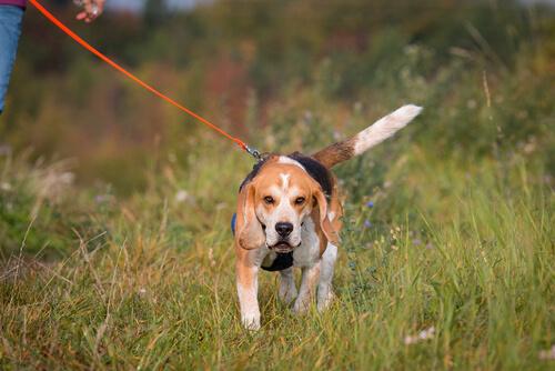 Mantrailing: perros