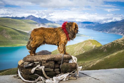 Mastín tibetano: precio más caro