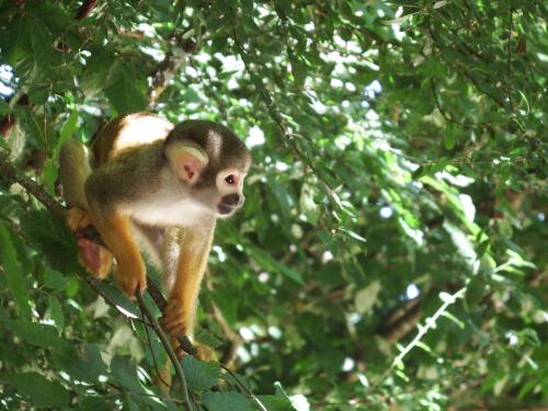 Conoce al mono ardilla