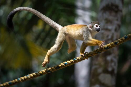 Mono ardilla: comportamiento