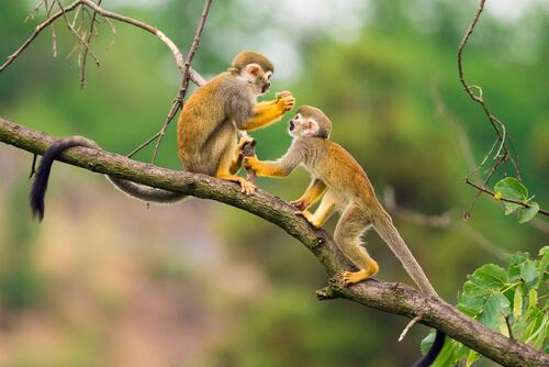 Mono ardilla: hábitat