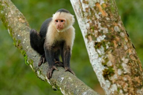 Mono capuchino: características