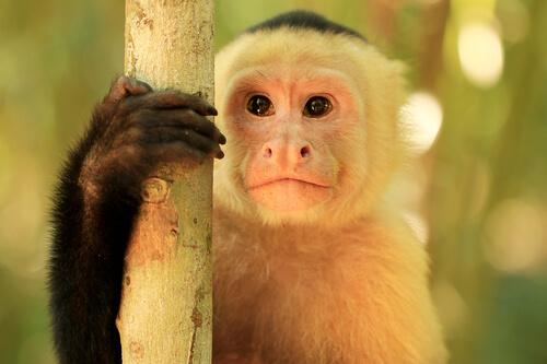 Mono capuchino cebus: características, hábitat y comportamiento