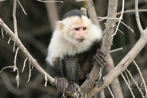Mono capuchino: hábitat