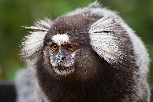 Mono tití común: nombre científico