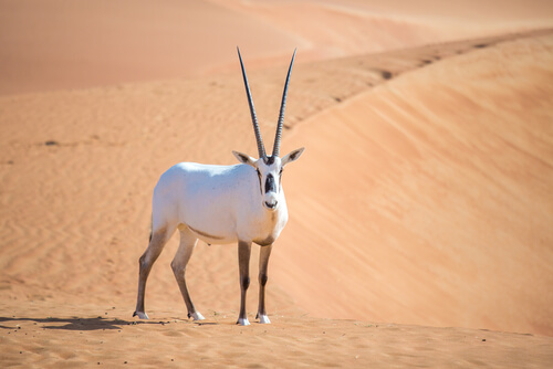 Órix de Arabia