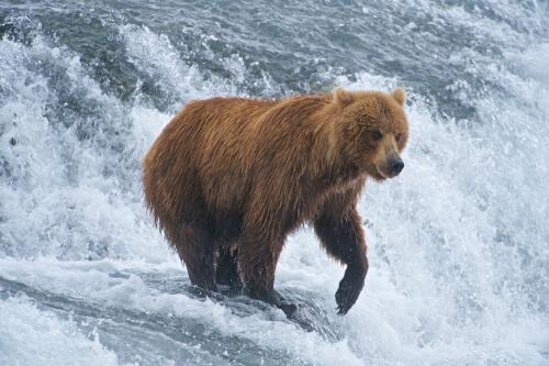 Oso grizzly: características