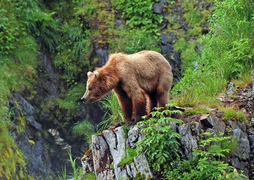 Oso grizzly, el más famoso de los bosques