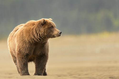 Oso grizzly: hábitat y alimentación