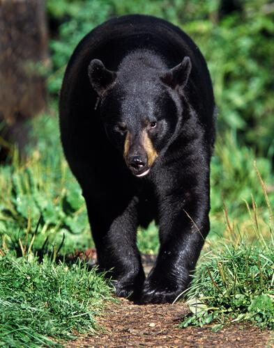 Oso negro americano: hábitat