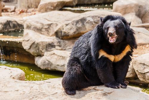 Oso negro asiático en peligro de extinción