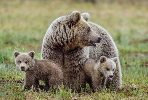 Conoce al oso pardo europeo