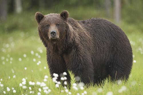 5 subespecies del oso pardo