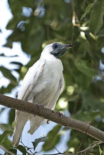 Pájaro campana: autor