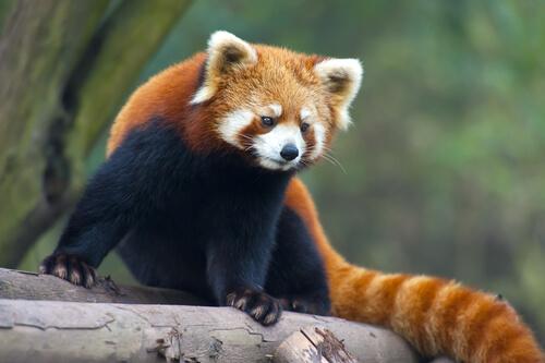 Panda rojo: dónde vive