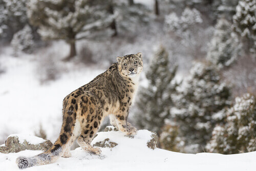 La pantera de las nieves: un felino muy esquivo