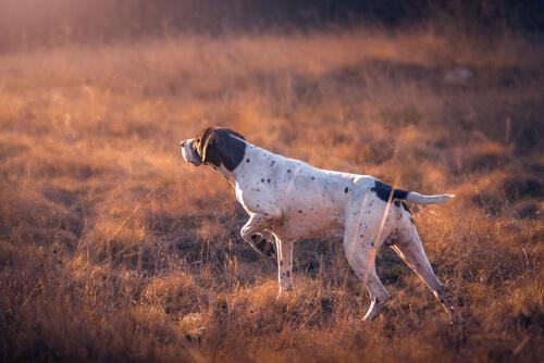 Perro de caza: lebrel