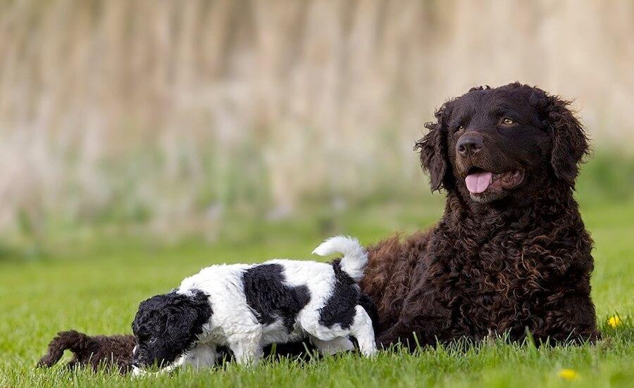 El wetterhoun: el perro de aguas frisón