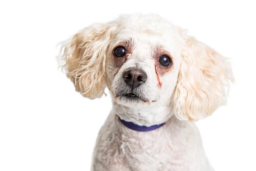 ¿Por qué los perros tienen manchas debajo de los ojos?