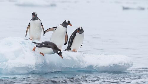 Pingüinos: características