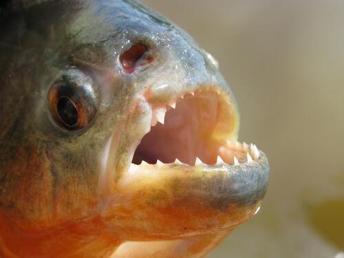 La piraña: conoce a este temido pez