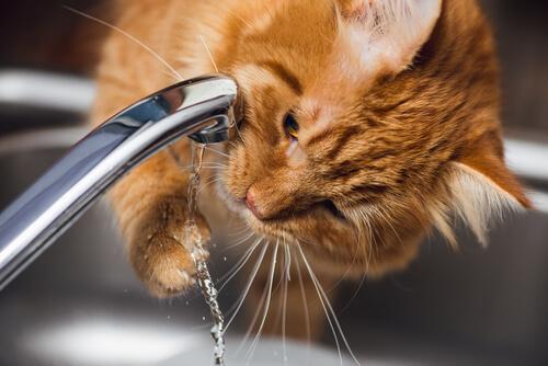 Problemas renales en gatos: síntomas y tratamiento