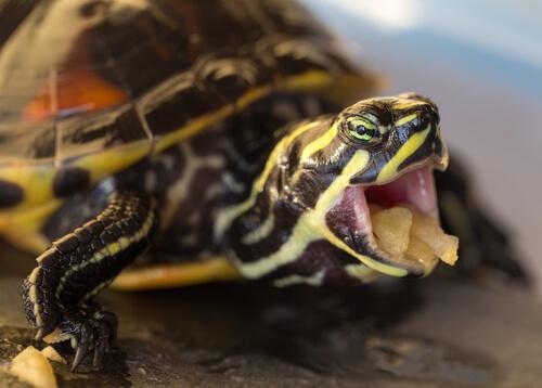 Qué darle de comer a una tortuga