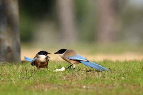 Rabilargo: hábitat