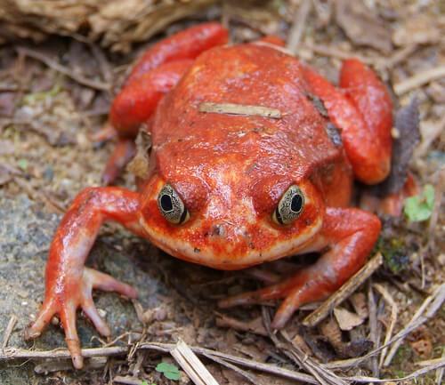 5 especies de ranas venenosas